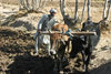 Afghanistan - Herat province - farmer ploughing with oxen - photo by E.Andersen