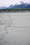 Alaska - Glacier bay - tracks of a large bear on a sand bank - photo by E.Petitalot