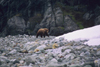 Alaska - Glacier bay - grizzly bear - photo by E.Petitalot