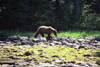 Alaska - Admiralty island: brown bear on a stony bank - photo by E.Petitalot