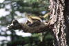 Alaska - squirrel on a tree - photo by E.Petitalot