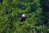 Alaska - Juneau: Bald Eagle in its natural habitat - Haliaeetus leucocephalus - raptor - bird of prey (photo by Robert Ziff)
