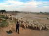 Algeria / Algerie - Tolga: sheep herd and shepherd - photo by J.Kaman