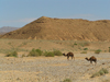 Alg�rie / Algerie - Sahara: camels in the desert - photo by J.Kaman