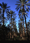 Algeria / Alg�rie - Biskra: in the palm groves, where the Deglet Nur date is produced - photo by C.Boutabba