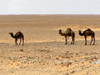 Alg�rie / Algerie - Sahara: three camels in the desert - photo by J.Kaman