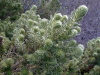 Amsterdam island: Phylica trees -  the soft, almost feathery, silvery-green leaves - Antarctic flora (photo by Francis Lynch)