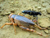 Angola: large cricket and wasp - fauna - insects - African wildlife / grilo e vespa - photo by A.Parissis