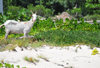 Blowing Point, Anguilla: white goat on the beach - photo by M.Torres