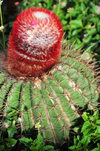 Blowing Point, Anguilla: cactus with red protuberance - photo by M.Torres