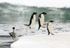 Commonwealth Bay, East Antarctica: Cape Denison - Adelie Penguins launch themselves out of the water after a fishing trip - photo by R.Eime