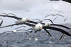 Commonwealth Bay, East Antarctica: albatrosses are constant companions - photo by R.Eime