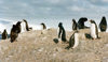 Trinity Island, Palmer Archipelago, Antarctica: penguins looking in all directions - photo by G.Frysinger