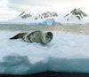 Petermann Island, Antarctica: leopard seal on the ice - photo by G.Frysinger
