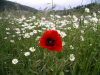 Aragon - Jaca - Pyrenees: poppy and daisies (photo by R.Wallace)
