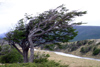Argentina - Tierra del Fuego: windswept tree / Arbole sombrero (photo by N.Cabana)