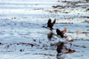 Argentina - Beagle Canal / Canal del Beagle - Tierra del Fuego: pair of cormorants taking off (photo by N.Cabana)
