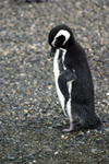 Argentina - Tierra del Fuego: Magellanic penguin on the beach - Spheniscus magellanicus - pinguino - penguim (photo by N.Cabana)