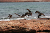 Argentina - Caleta Horno - Bahía Gil (Chubut Province): Black and Magellanic Oystercatcher - photo by C.Breschi