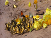 Argentina - Iguazu Falls - butterflies at a salt lick - images of South America by M.Bergsma