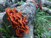 Argentina - Iguazu Falls - red poisonous mushrooms on a dead tree trunk - images of South America by M.Bergsma