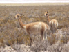 Argentina - Salta province - Salinas Grandes - pair of Vicu�as  - Vicugna vicugna - Aregetinean fauna - images of South America by M.Bergsma