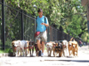 Argentina - Buenos Aires - Dog walking service - man with many dogs, Palermo - images of South America by M.Bergsma