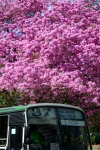 Argentina - Buenos Aires: Recolecta - Barrio - pink flowers and bus 37 (photo by N.Cabana)