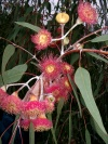 Australia - Perth / PER (WA): Eucalyptus flower - Botanical Garden - photo by Luca Dal Bo