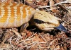 Australia - Western Australia: Blue-tongue lizard - photo by Luca dal Bo