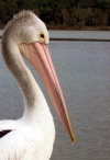 Australia - Tin Can Bay (Queensland): Pelican - close-up - photo by Luca Dal Bo