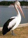 Australia - Tin Can Bay (Queensland): Pelican - photo by Luca Dal Bo
