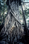 Australia - Northern Territory: Strangler fig - photo by  Picture Tasmania/Steve Lovegrove