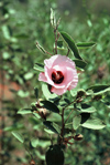 Australia - Northern Territory's Floral Emblem - Sturt's Desert Rose - photo by  Picture Tasmania/Steve Lovegrove