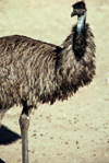Australia - Northern Territory: Emu - photo by  Picture Tasmania/Steve Lovegrove