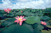 Australia - Billabong (NT): Water lilies - photo by  Picture Tasmania/Steve Lovegrove