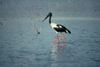 Australia - Northern Territory: Black necked Stork - Jabiru - Gabiru - photo by  Picture Tasmania/Steve Lovegrove