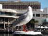 Australia - Sydney / SYD / RSE / LBH - New South Wales: seagull - photo by Tim Fielding
