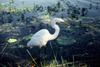 Australia - Northern Territory: Great Egret (Ardea alba) with Fish - photo by  Picture Tasmania/Steve Lovegrove