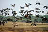 Australia - Northern Territory: flock of Magpie Geese - photo by  Picture Tasmania/Steve Lovegrove