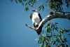 Australia - Northern Territory: Sea Eagle - photo by  Picture Tasmania/Steve Lovegrove