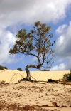 Australia - Fraser Island (Queensland): tree at Kirrar Sand Blow - photo by Luca Dal Bo