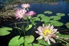 Australia - Northern Territory: Water Lilies - photo by  Picture Tasmania/Steve Lovegrove