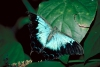 Australia - Port Douglas (Queensland): Ulysses Butterfly - Papilio ulysses - photo by R.Eime