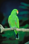 Australia - Port Douglas (Queensland): Native Eclectus Parrot - Eclectus roratus  - photo by R.Eime