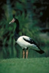 Australia - Port Douglas (Queensland): Native Magpie Goose - Anseranas semipalmata - photo by R.Eime