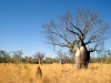 Australia - Gregory NP - Bullita Stock Route (NT): baobab tree - photo by Luca dal Bo