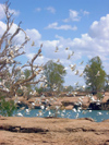 Australia - Leichhardt river and Fall (Queensland): Cockatoos - photo by Luca Dal Bo