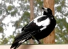 Australia - Gloucester NP (WA): magpie - crow - seen from Gloucester Tree fire lookout - Karri tree - photo by Luca dal Bo