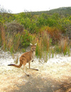 Australia - Cape Le Grand NP (WA): kangaroo - Lucky Bay - photo by Luca dal Bo